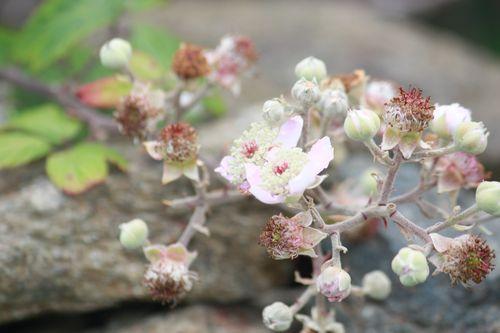 Fleurs de mûrier / Béatrice Gernot