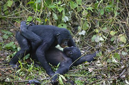 Bonobo_rapp_1